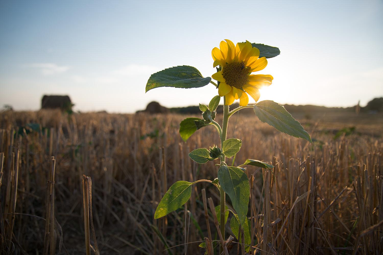 zonnebloem-graanveld-zomer-2015